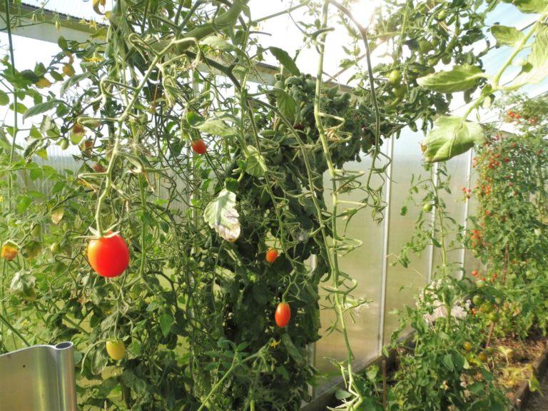Tomaten bis zum Dach